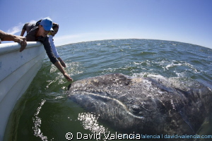 gray whale, lopez mateos, baja california sur by David Valencia 